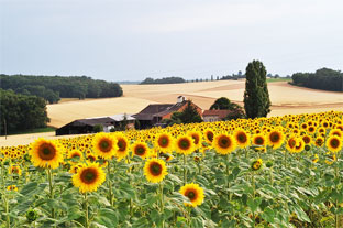 sunflowers seen whilst property hunting in france