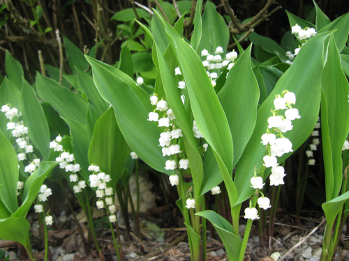 Muguet is given on May day in France