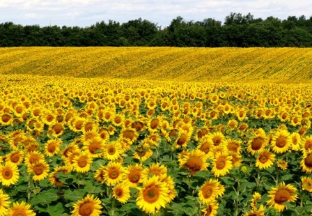 sunflowers seen whilst looking for property for sale in france