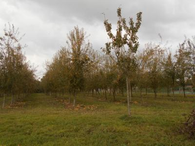 Pear Orchard in Full Profitability